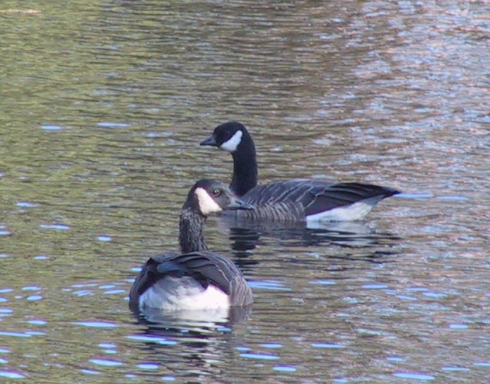 Goose picture 1