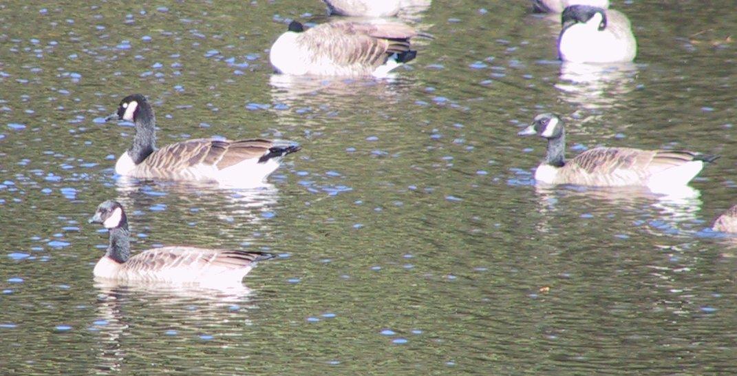 Goose picture 2