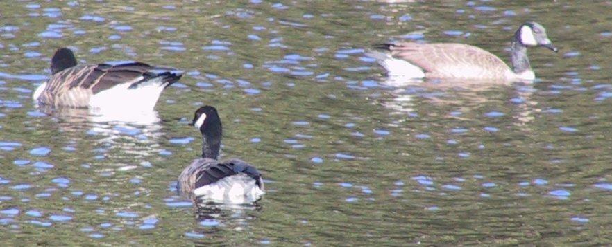 Goose picture 4