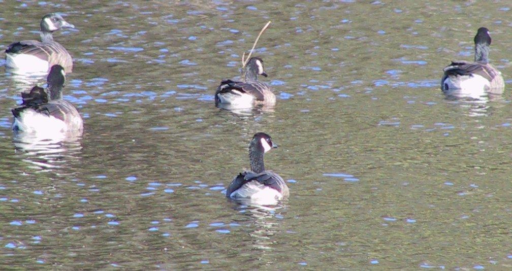 Goose picture 5
