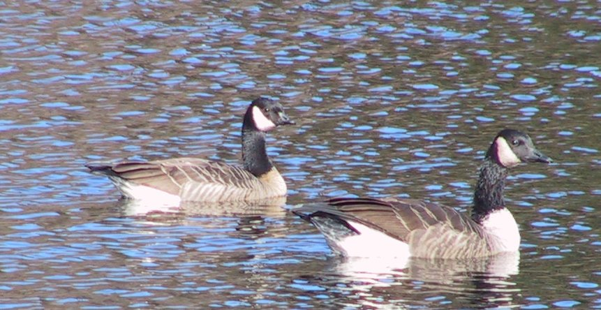 Goose picture 6