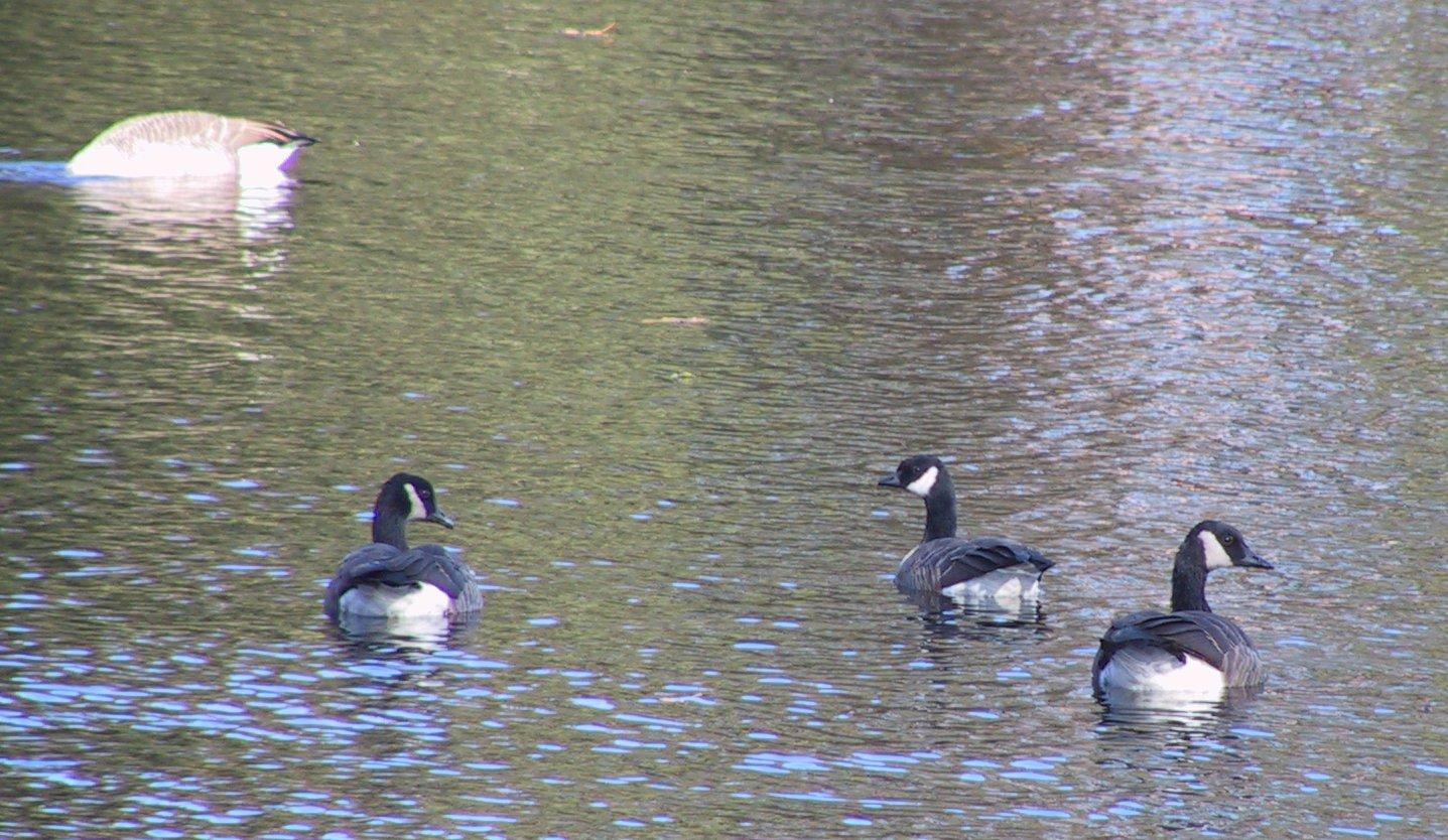 Goose picture 8