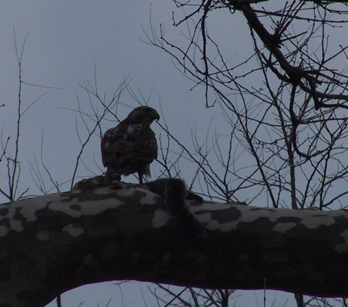 Red-tail with sqirrel